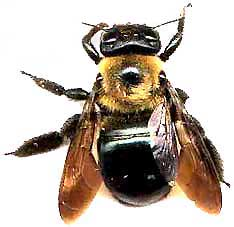 Large Carpenter Bee