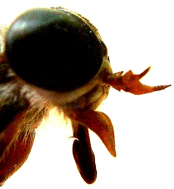 Horsefly head with mouthparts