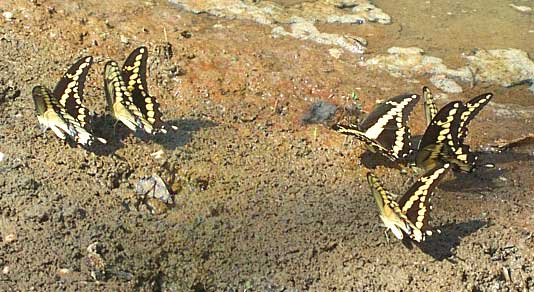 Giant Swallowtails, PAPILIO CRESPHONTES
