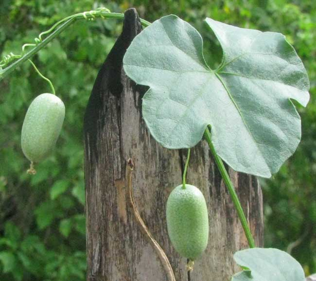 Mouse Melon, or Guadeloupe Cucumber, MELOTHRIA PENDULA, leaves and immature fruits