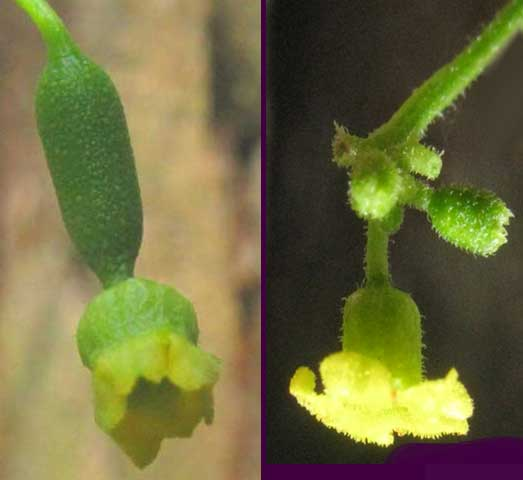Mouse Melon, or Guadeloupe Cucumber, MELOTHRIA PENDULA, male and female flowers