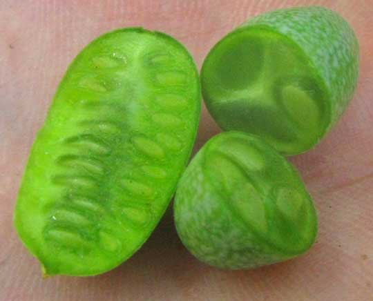 Mouse Melon, or Guadeloupe Cucumber, MELOTHRIA PENDULA, sliced open immature fruit