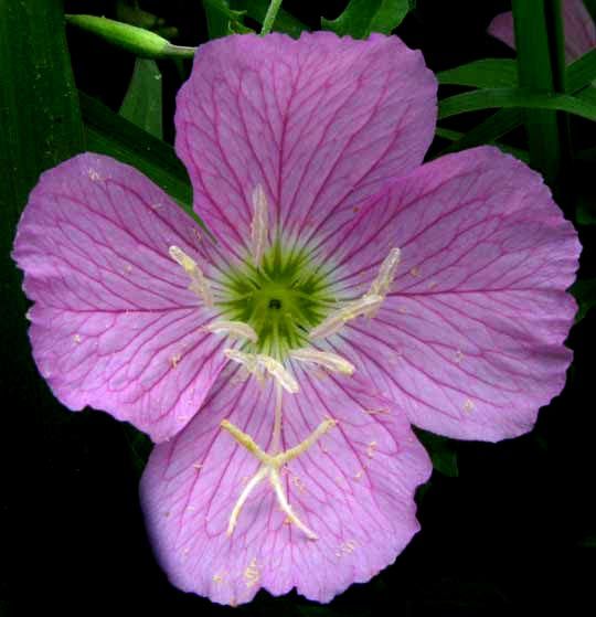 Pink evening primrose oenothera speciosa pink evening primrose oenothera speciosa flower close up mightylinksfo