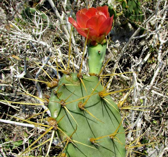 Coastal Prickly Pear, OPUNTIA STRICTA, joints with red flowers