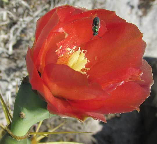 Coastal Prickly Pear, OPUNTIA STRICTA, red flower