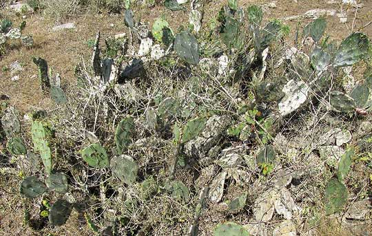 Coastal Prickly Pear, OPUNTIA STRICTA, growth form of red-flowered form