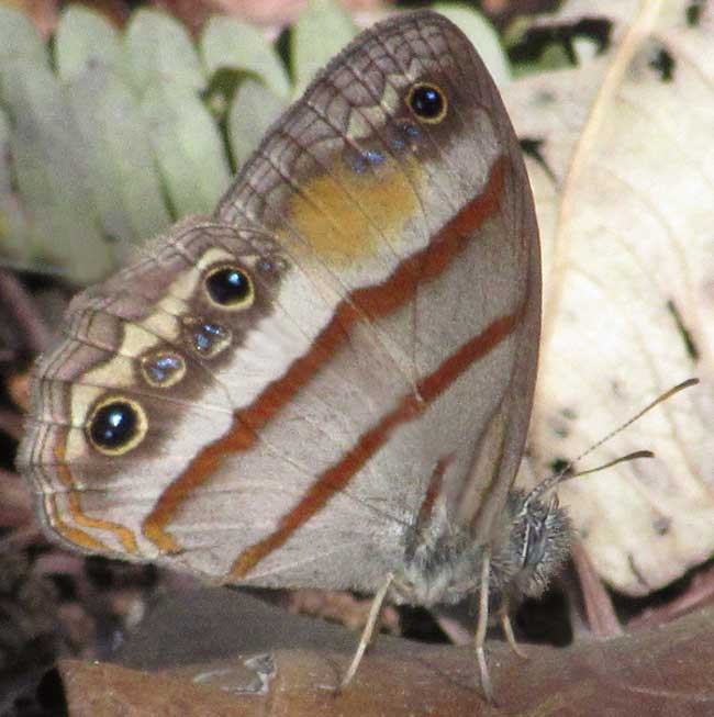 Gold-stained Satyr, CISSIA PSEUDOCONFUSA