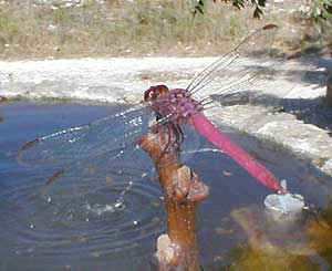 red dragonfly in the Yucatan, Mexico, image by Karen Wise of Mississippi