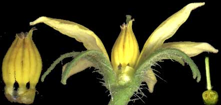 Tomato flower showing grown-together stamens and future tomato