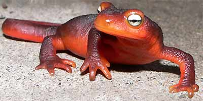 California Newt, Taricha torosa -- picture by Fred & Diana Adams of Placerville, California