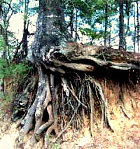 Roots of Water Oak, Quercus nigra
