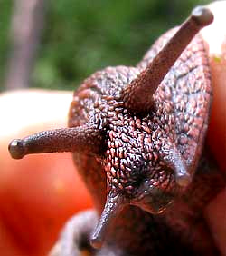 Head of Banded Forest Snail, MONADENIA FIDELIS, showing four tentacles