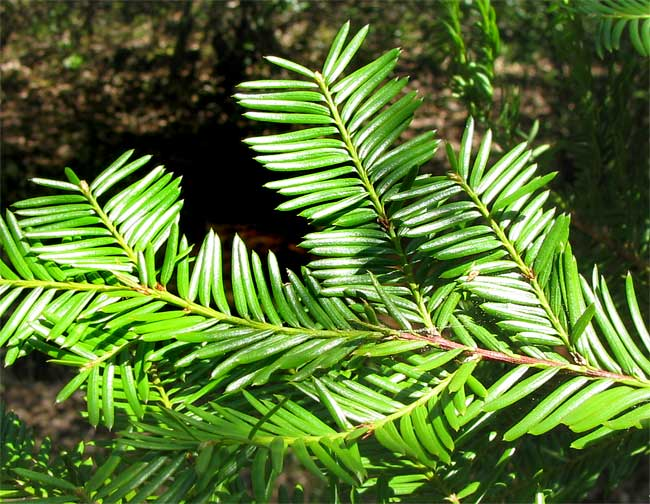 Branch of the Pacific Yew, Taxus brevifolia