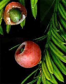 Yew fruits, genus Taxus