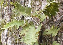Resurrection Fern, Polypodium polypodioides var. michauxianum, image by Karen Wise of Kingston, Mississippi