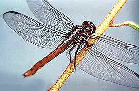 Female Roseate Skimmer photographed by Michael Suttkus