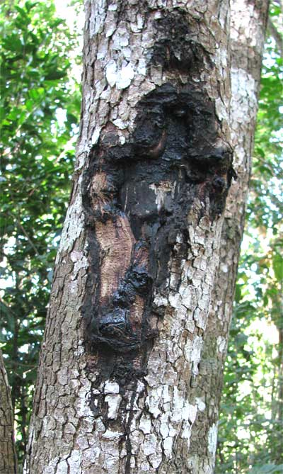 how to get pine tree sap off skin